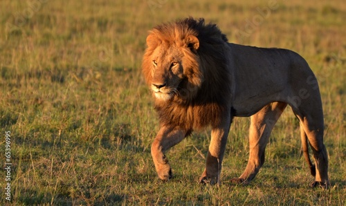 Photo  African Lion