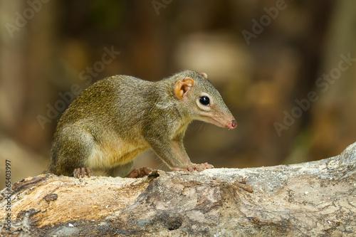 Fotografie, Obraz  Common treeshrew or Southern treeshrew (Tupaia glis)