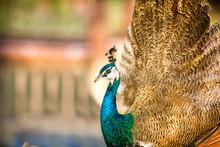 Proud Beautiful Peacock