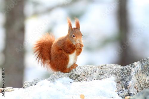Deurstickers Eekhoorn scoiattolo roditore mammiffero in stagione invernale