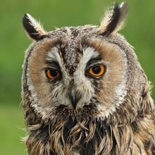Long-eared Owl (Asio Otus, Pre...