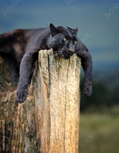 Photo Stands Panther Black leopard