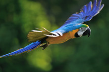 Flying Blue-and-yellow Macaw -...