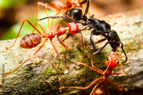 Photo  Red weaver ants teamwork
