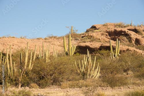 Poster Afrique Hillside of Organpipe Cactus