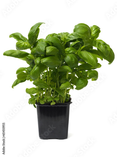 Fotografie, Obraz  Basil herb on white