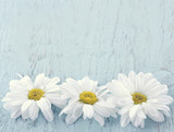 Wooden vintage background with white daisies