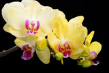 Fototapeta Orchid - Yellow orchid isolated on black  background
