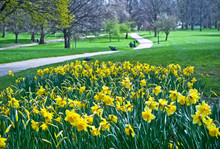 Blooming Daffodils In St Green...