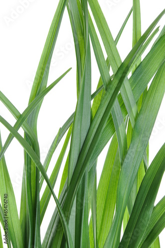 zieleni-liscie-leluja-kwitna-na-bialym-tle