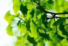 Green Ginkgo-biloba Leaves