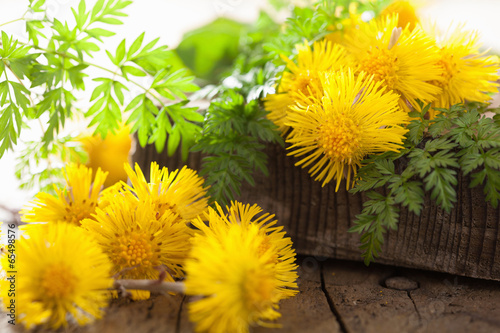 Valokuva  coltsfoot flowers spring herbs and scissors