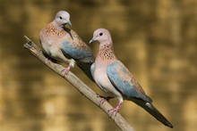 A Pair Of Laughing Doves (Stretopelia Senegalensis) Perched On A