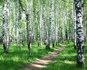Fototapeta Brzoza Pathway in spring birch grove with sun beams