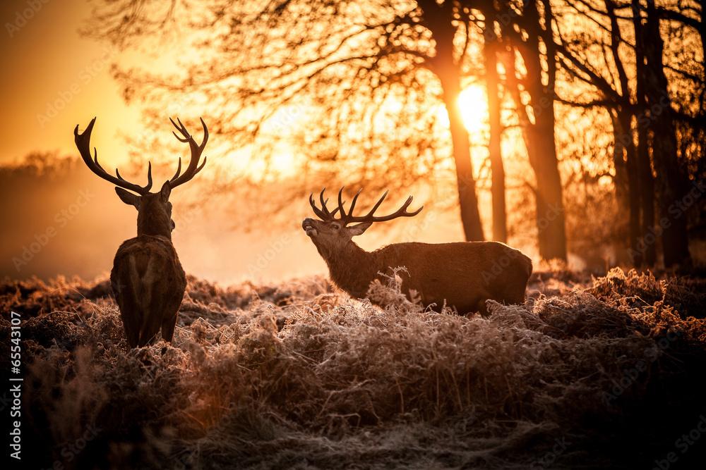 Photo  Red Deer in Morning Sun.