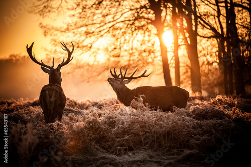 Fotografia Red Deer in Morning Sun.