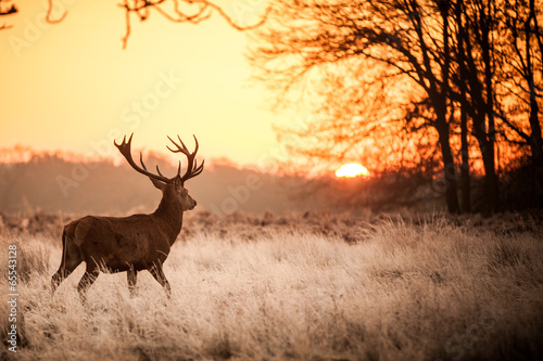 Red Deer in Morning Sun. Wallpaper Mural