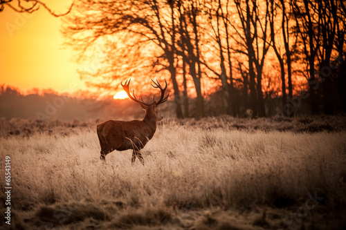 Poster Chasse Red Deer in Morning Sun.