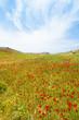 Kreta - Griechenland - Mohnwiesen von Prevelhi