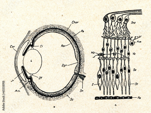 Schematic diagram of the vertete eye: comprar esta foto ... on cross section of the eye, flowchart of the eye, schematic eye retinoscopy, sagittal section of the eye, schematic section of the human eye, cutaway view of the eye, midsagittal section of the eye, transverse section of the eye, cross section diagram of eye,