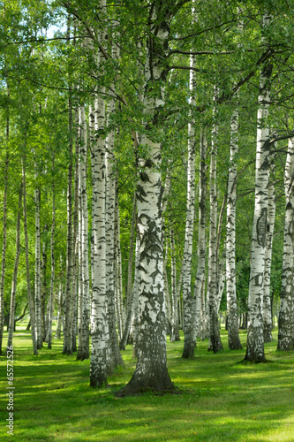 Birchwood forest Wallpaper Mural