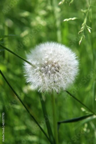 mniszek-lekarski-przeszyty-zdzblem-trawy