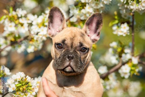 Foto op Plexiglas Franse bulldog Portrait of french bulldog puppy in flowers