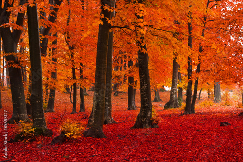 Spoed Foto op Canvas Rood traf. Foggy mystic forest during fall