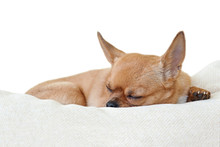 Sleeping Red Chihuahua Dog Isolated On White Background.