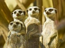 Meerkat Family Of Four Members