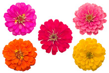 Blooming Zinnias Isolated On W...