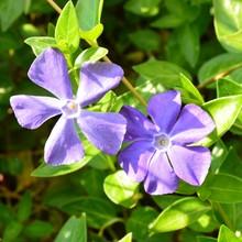 Blaue Blüten - Kleinblättriges Immergrün