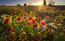 Texas Wildflowers At Sunrise