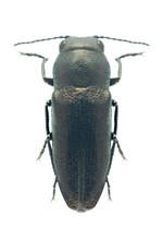 Beetle Metallic Wood Borer Sphenoptera Cauta Palea