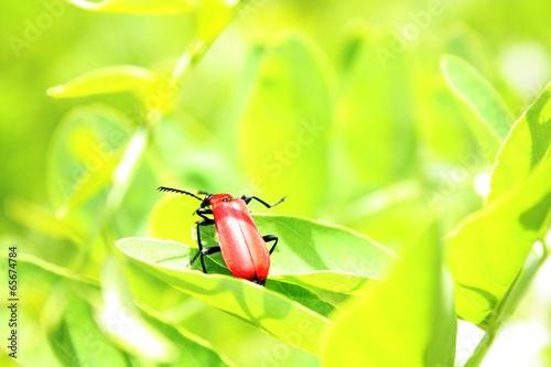 Fotografie, Obraz  red insect