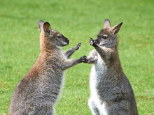 Red-necked Wallaby (Macropus R...