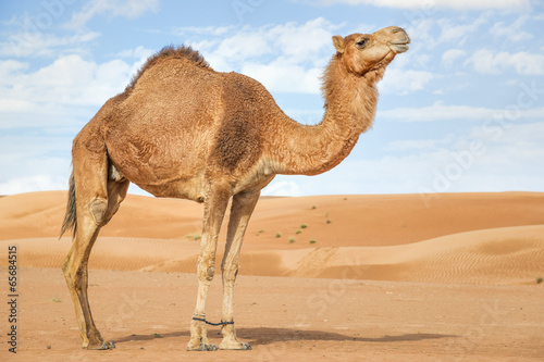 Canvas Print Camel in Wahiba Oman