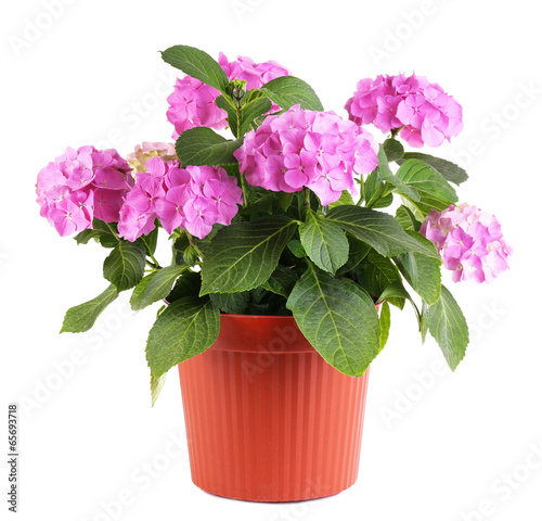 Fototapeta Hydrangea in flowerpot isolated on white