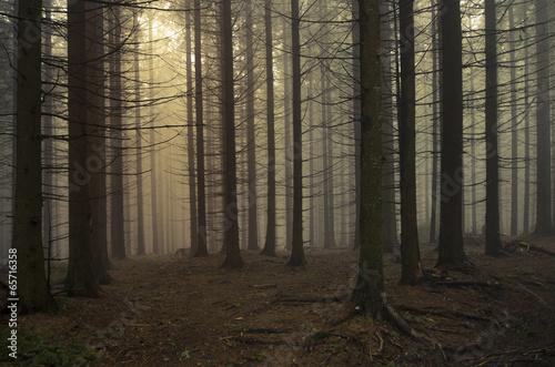 pine tree forest landscape at sunset