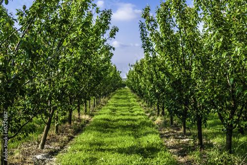 plum trees in orchard Slika na platnu