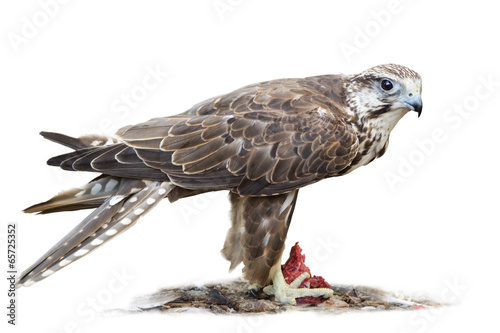 Saker falcon on white background Poster