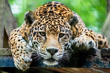 Fototapeta South American jaguar