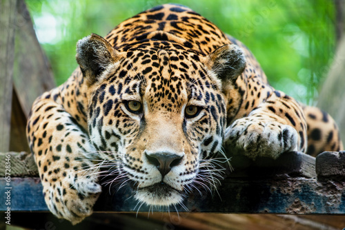 Foto op Canvas Luipaard South American jaguar