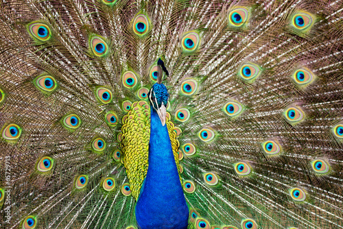 Foto op Plexiglas Pauw Portrait of beautiful peacock with feathers out..