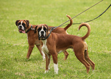 Couple Of Boxer Breed Dogs Walking Outside On The Green Grass