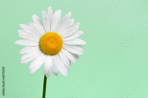 Foto op Canvas Madeliefjes Daisy flower closeup on green background