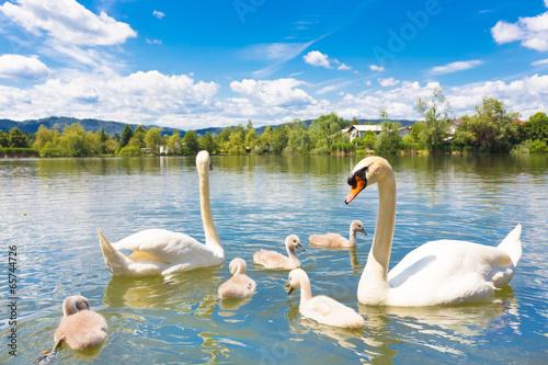 Poster Cygne Swans with nestlings in Ljubljana.