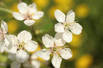 Naklejka Eko Cherry Blossom