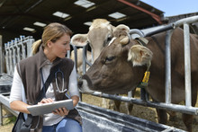 Veterinarian Checking On Herd'...