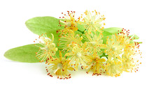 Linden Flowers Closeup.